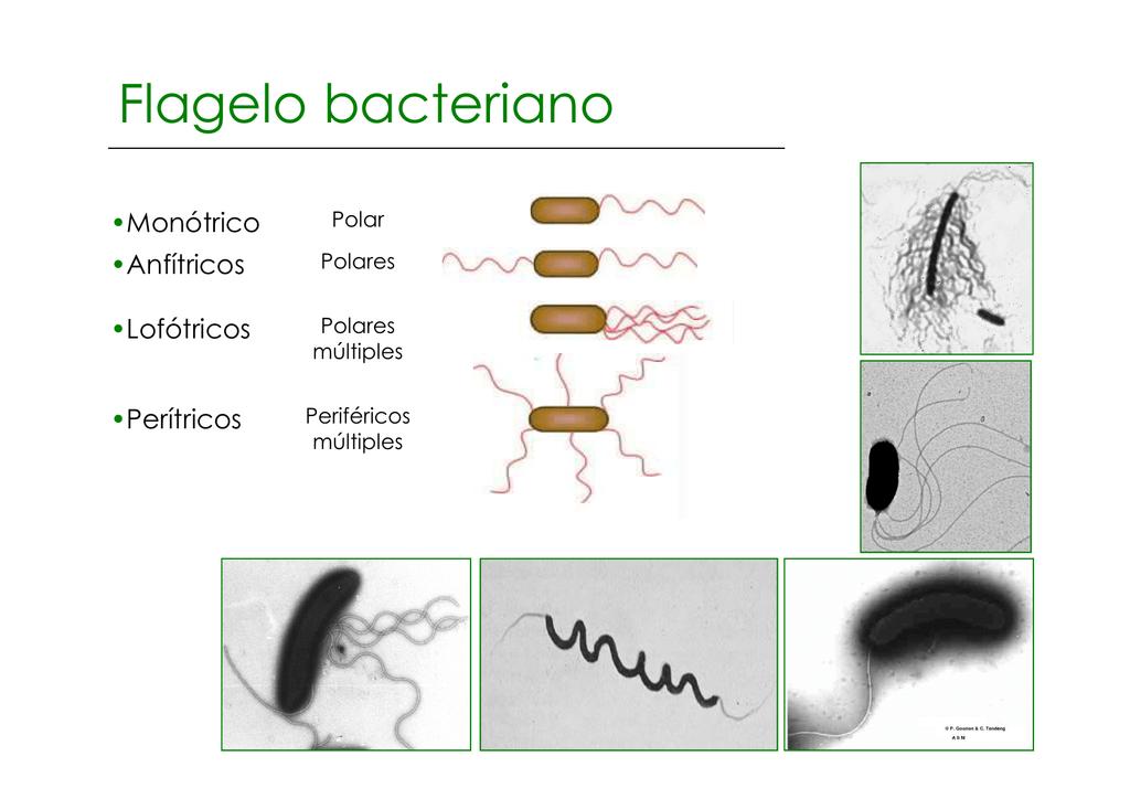 Flagelo Bacteriano