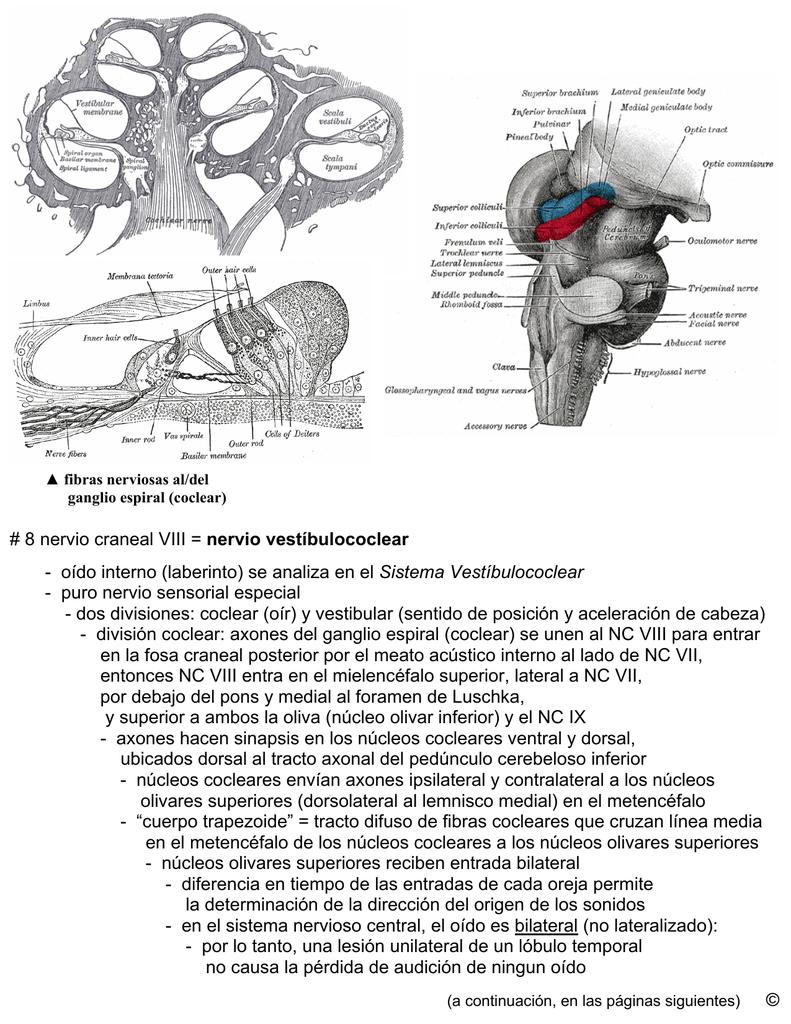 8 nervio craneal VIII = nervio vestíbulococlear
