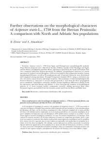 Further observations on the morphological characters of Acipenser