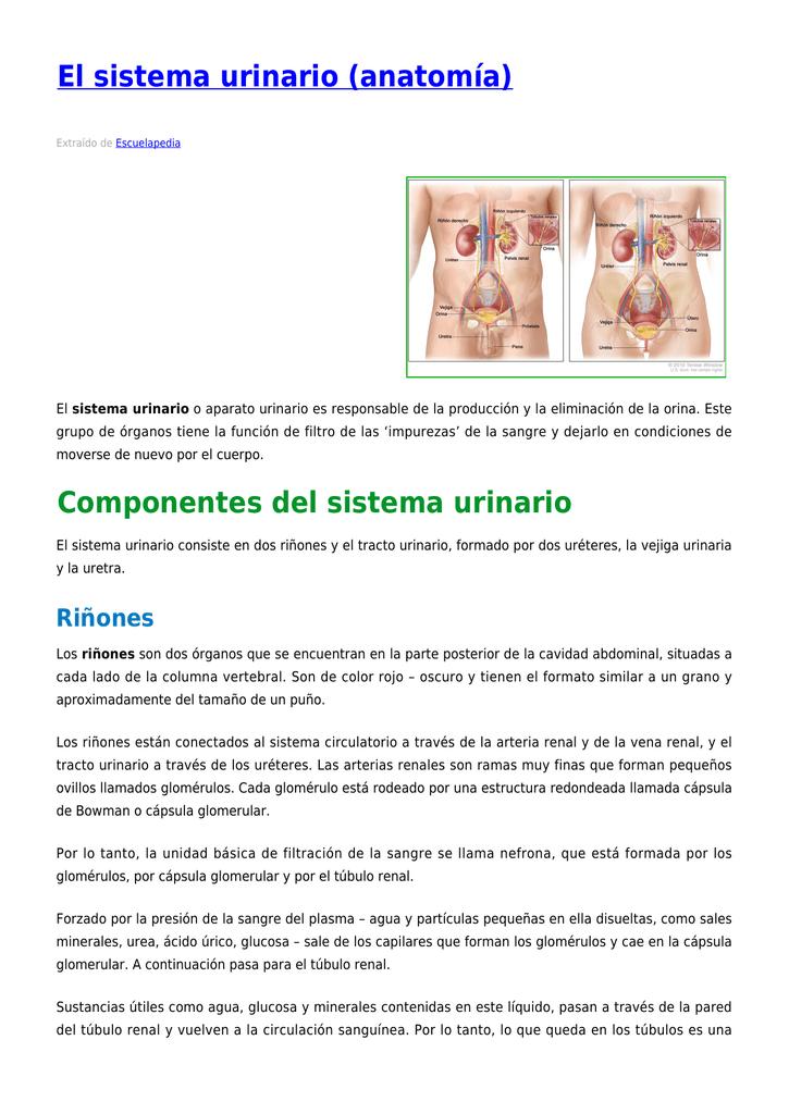 El sistema urinario (anatomía)