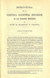 CORTEZA OCCIPITAL INFERIOR