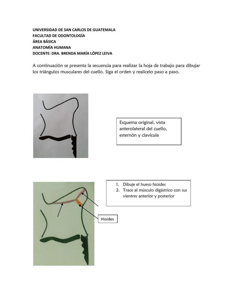 Triángulos del cuello - Apoyo para la Fac. de Odontología – USAC