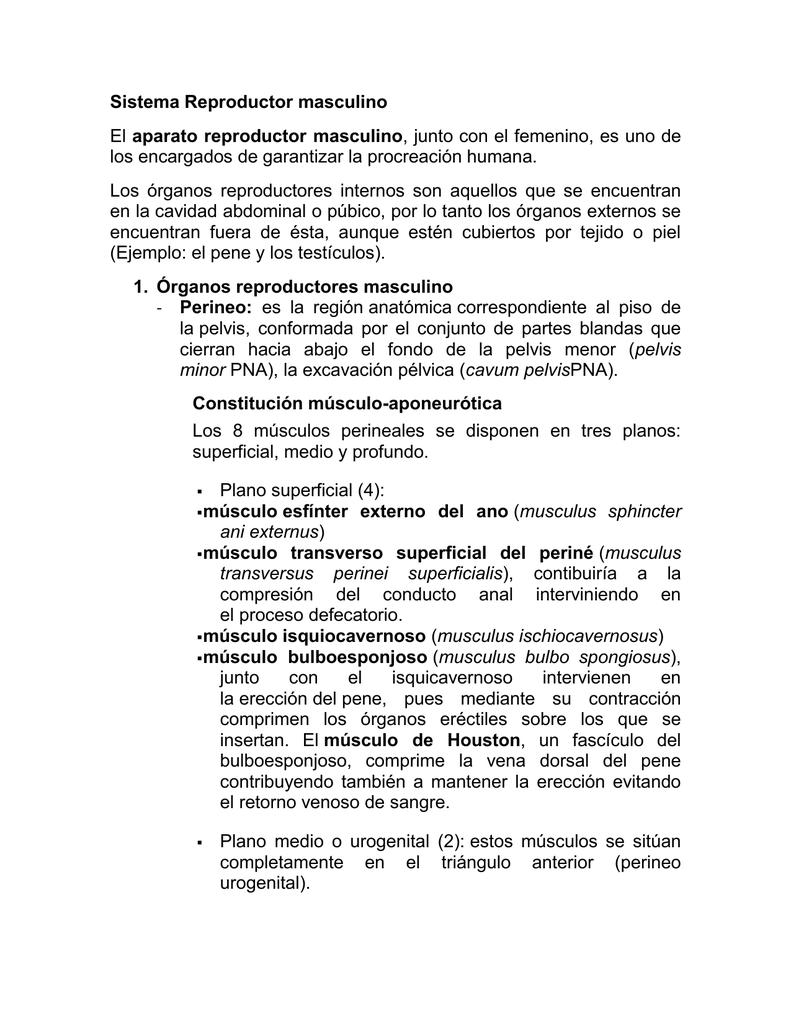 Fantástico Anatomía Del Sistema Reproductor Masculino Caballo ...