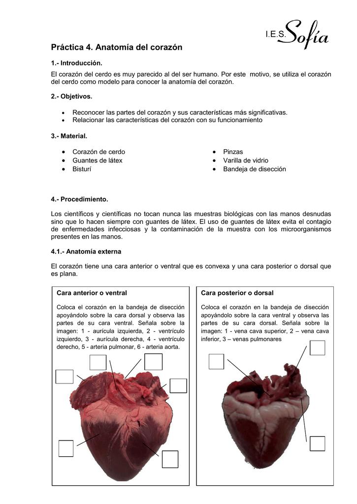 Lujo Anatomía Interna De Un Cerdo Fetal Imágenes - Imágenes de ...