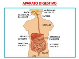 Cuido mi aparato digestivo