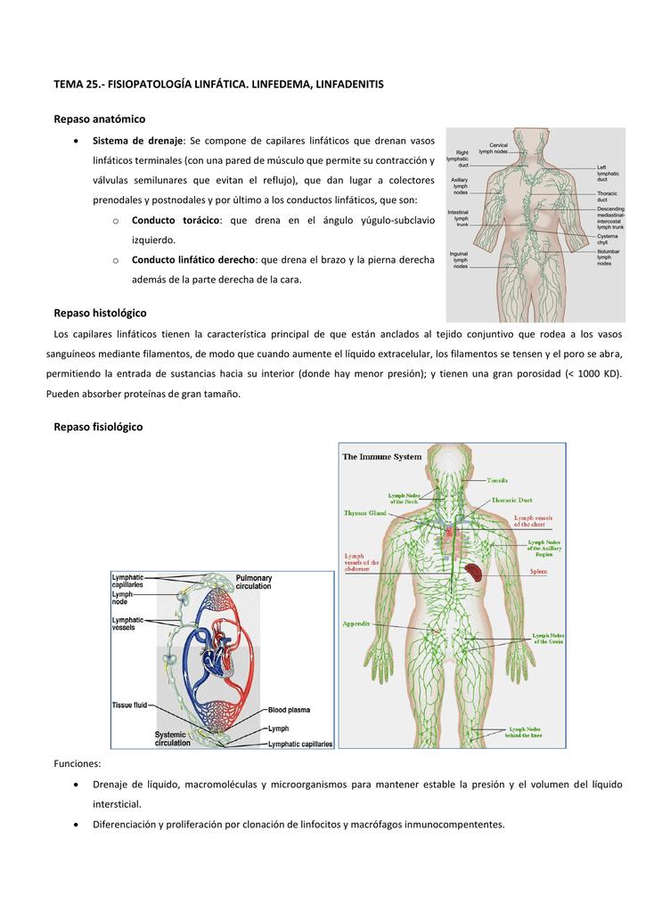 Hermosa Función Conducto Torácico Viñeta - Anatomía de Las ...