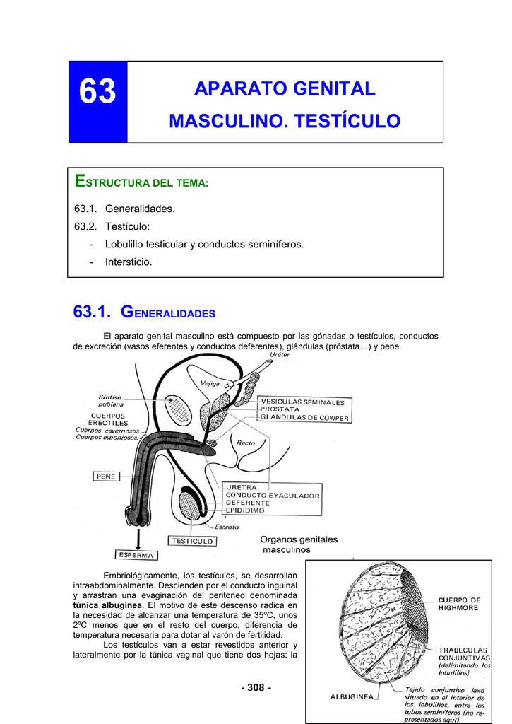 Excelente Conductos Deferentes Foto Colección - Imágenes de Anatomía ...