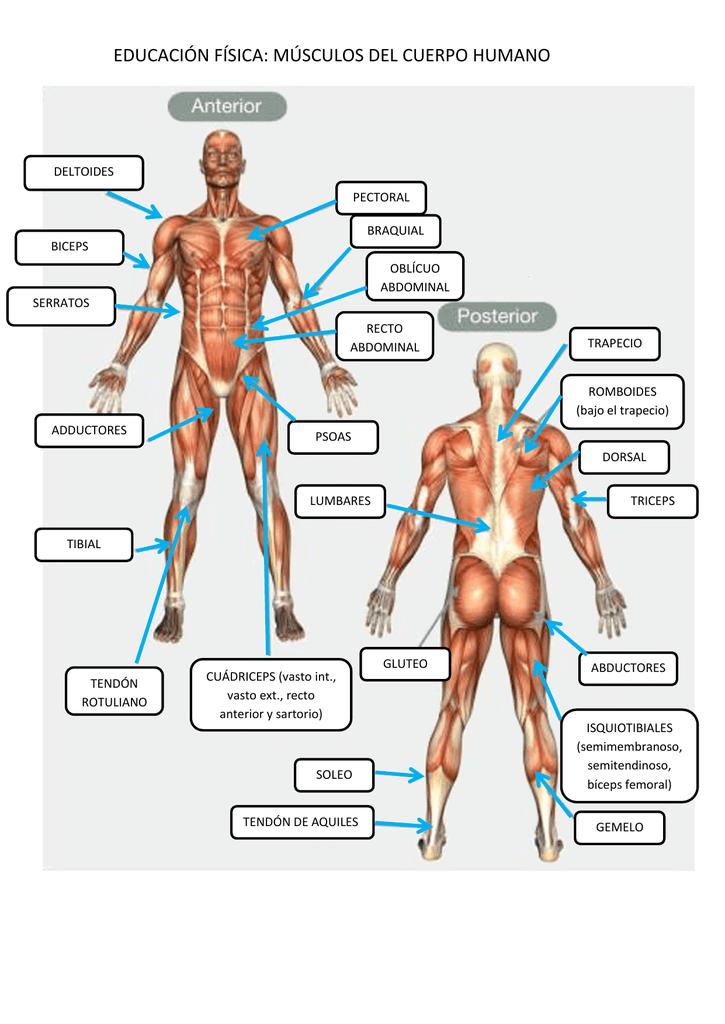 educación física: músculos del cuerpo humano