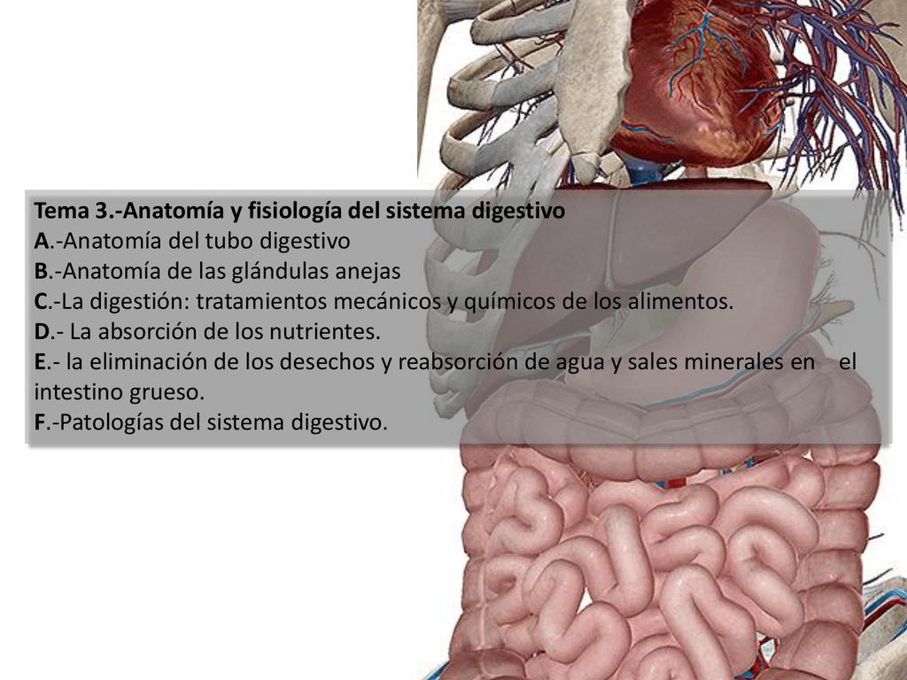 Teama 3.-Anatomía y fisiología del sistema digestivo
